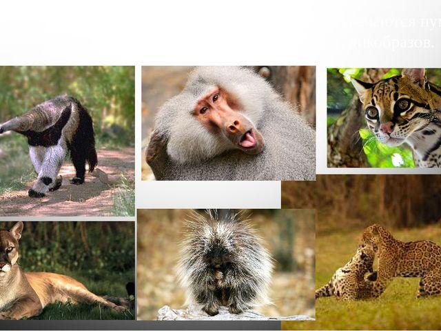 В неотропической области Центрально Америки встречаются пумы, ягуары и оцелот...