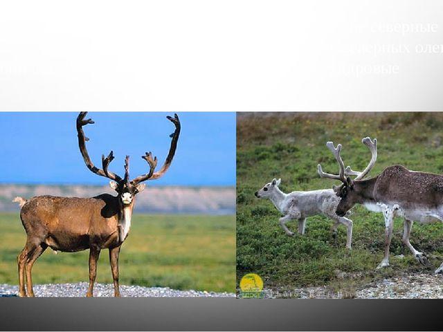 Чуть большее распространение получили американские северные олени карибу. Они...