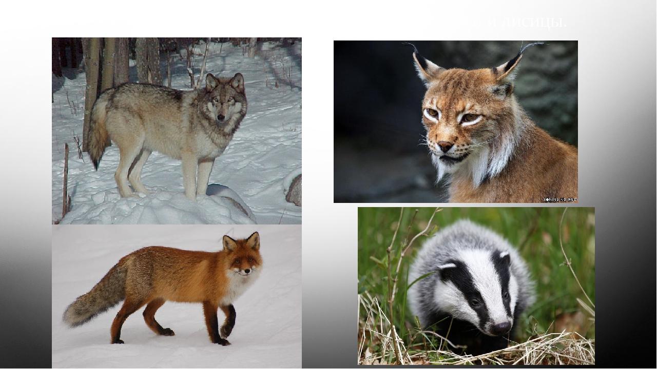 В Кордильерах водятся волки, рыси, барсуки и лисицы.