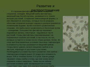 Развитие и распространение В строении фитофторы различают мицелий, спорангии