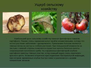 Ущерб сельскому хозяйству Наибольший урон сельскому хозяйству наносит фитофт