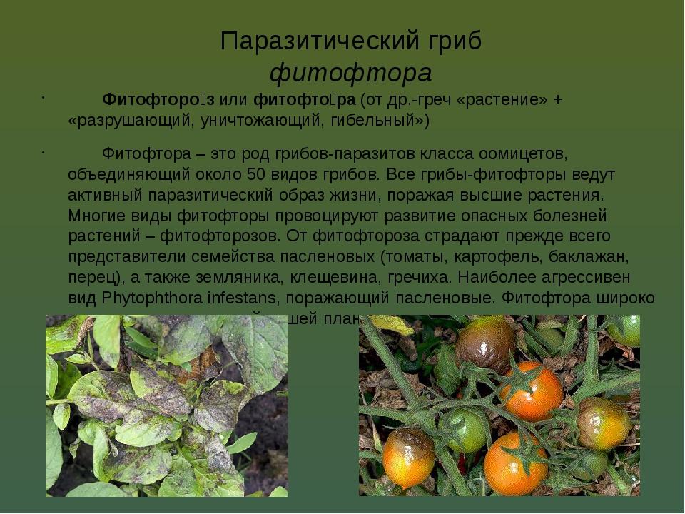 Паразитический гриб фитофтора Фитофторо́з или фитофто́ра (от др.-греч «расте...
