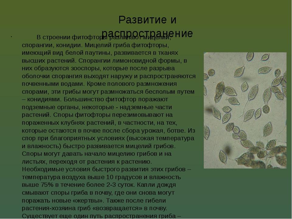 Развитие и распространение В строении фитофторы различают мицелий, спорангии...