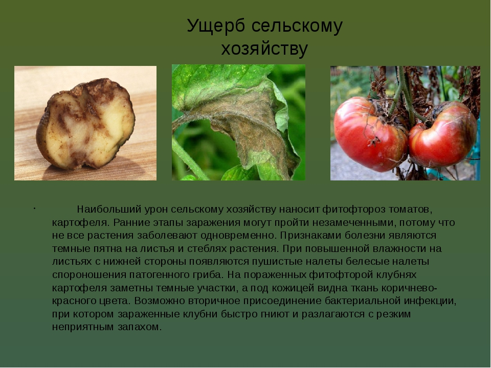 Ущерб сельскому хозяйству Наибольший урон сельскому хозяйству наносит фитофт...