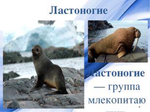 Ластоногие Ластоногие— группа млекопитающих, которую ранее выделяли в отдель