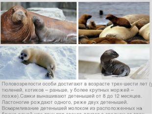 Половозрелости особи достигают в возрасте трех-шести лет (у тюленей, котиков