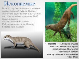 Ископаемые В 2009 году был описан ископаемый предок тюленейпуйила. Возраст ж