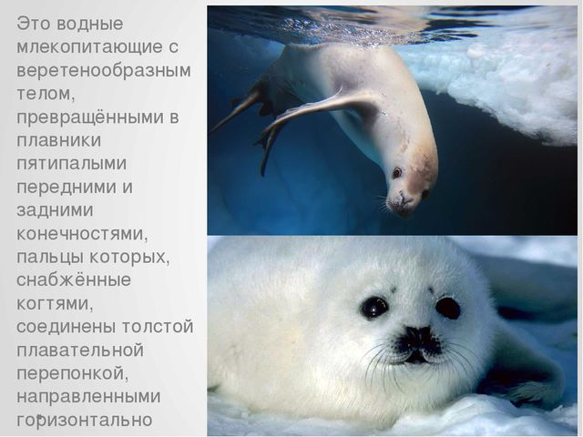 Это водные млекопитающие с веретенообразным телом, превращёнными в плавники п...