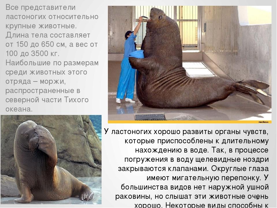 Все представители ластоногих относительно крупные животные. Длина тела состав...