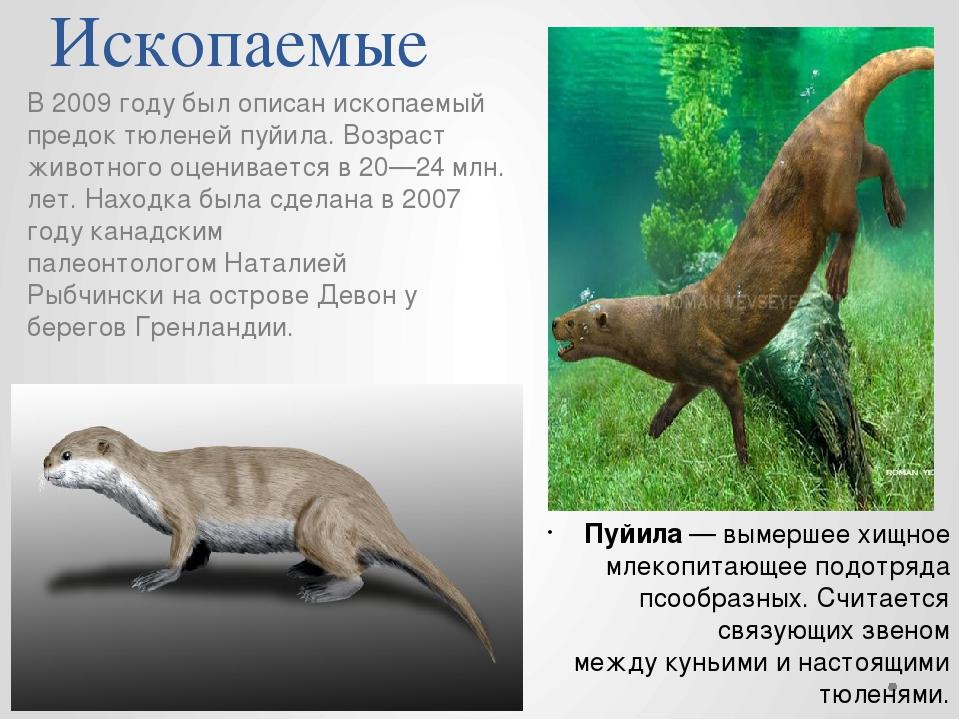 Ископаемые В 2009 году был описан ископаемый предок тюленейпуйила. Возраст ж...