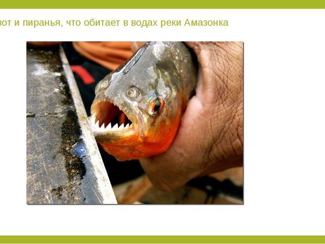 А вот и пиранья, что обитает в водах реки Амазонка