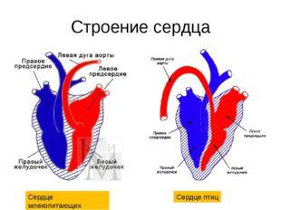 Строение сердца Сердце млекопитающих Сердце птиц