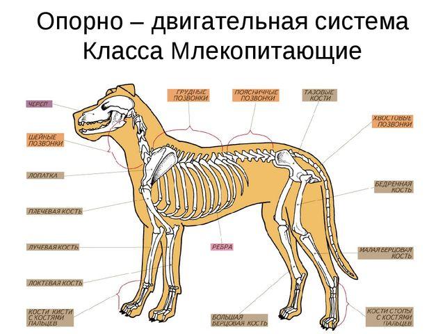 Опорно – двигательная система Класса Млекопитающие