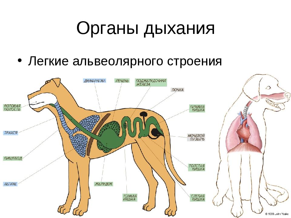 Органы дыхания Легкие альвеолярного строения