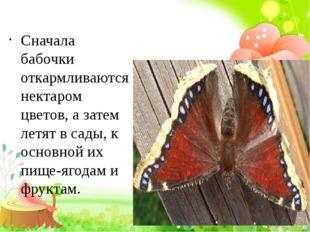 Сначала бабочки откармливаются нектаром цветов, а затем летят в сады, к осно