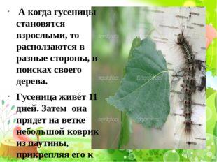 А когда гусеницы становятся взрослыми, то расползаются в разные стороны, в п