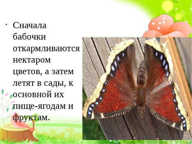 Сначала бабочки откармливаются нектаром цветов, а затем летят в сады, к осно...