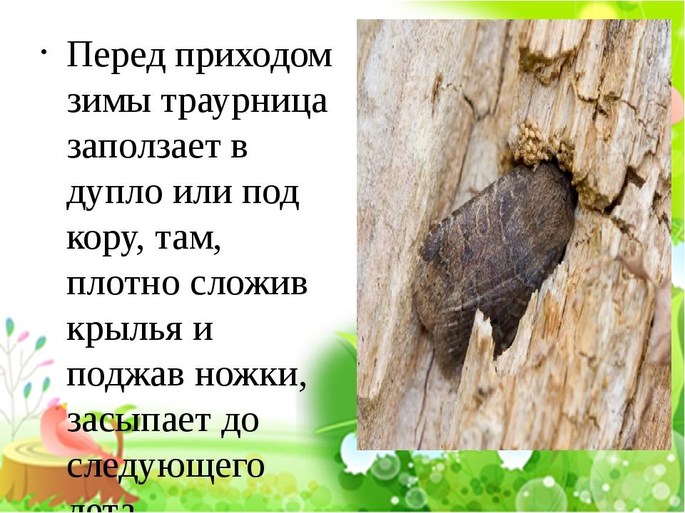Перед приходом зимы траурница заползает в дупло или под кору, там, плотно сл...