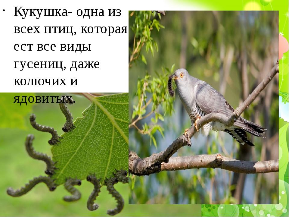 Кукушка- одна из всех птиц, которая ест все виды гусениц, даже колючих и ядо...