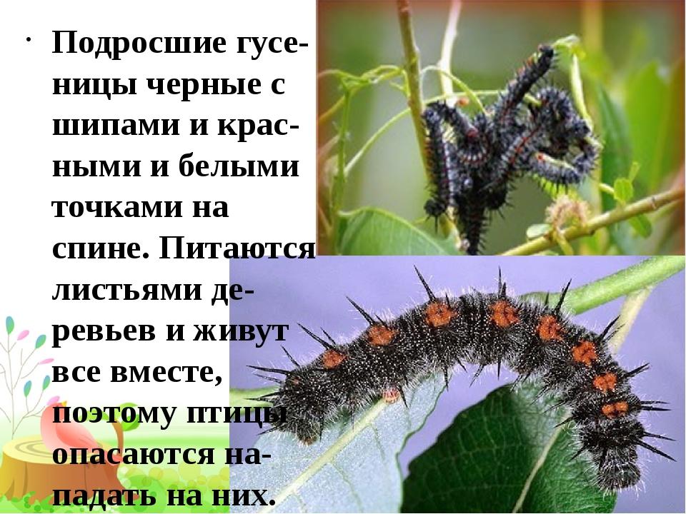 Подросшие гусе-ницы черные с шипами и крас-ными и белыми точками на спине. П...