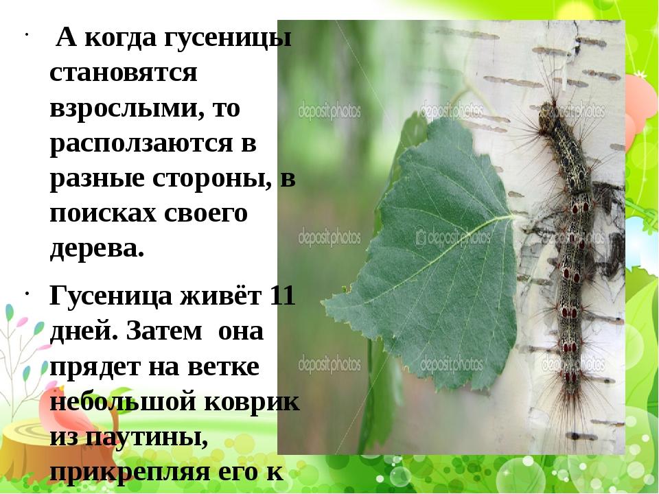 А когда гусеницы становятся взрослыми, то расползаются в разные стороны, в п...