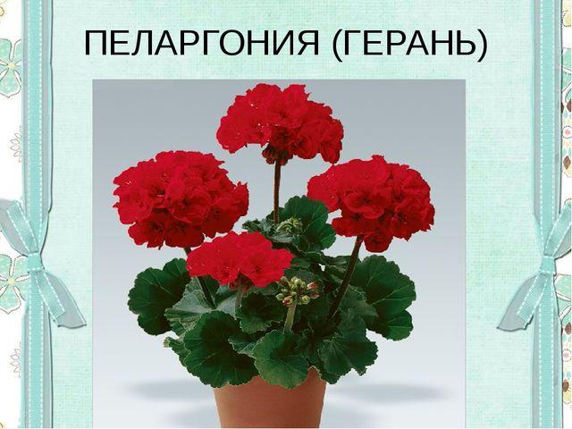 ПЕЛАРГОНИЯ (ГЕРАНЬ)