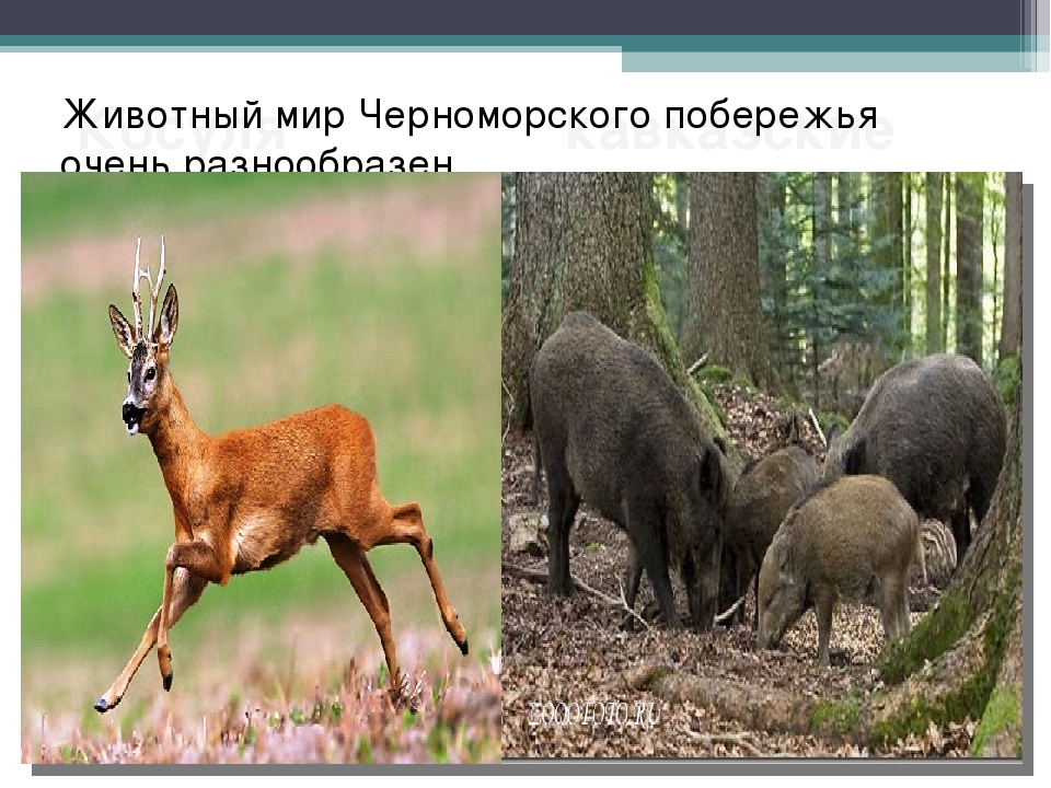 Косуля кавказские козлы. Животный мир Черноморского побережья очень разнообра...