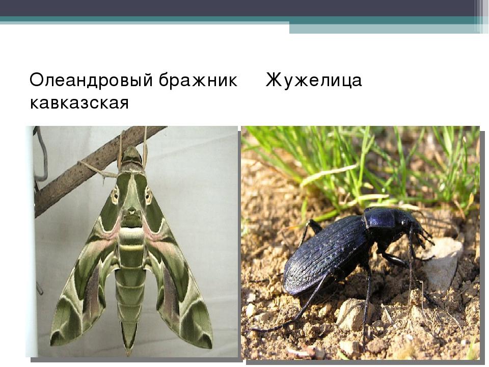 Олеандровый бражник Жужелица кавказская