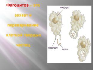 Фагоцитоз – это захват и переваривание клеткой твердых частиц.