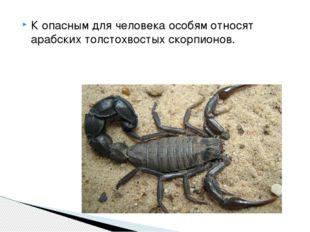 К опасным для человека особям относят арабских толстохвостых скорпионов.