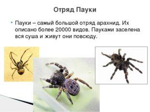 Пауки – самый большой отряд арахнид. Их описано более 20000 видов. Пауками за