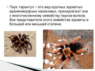 Паук тарантул – это вид крупных ядовитых аранеоморфных насекомых, принадлежат