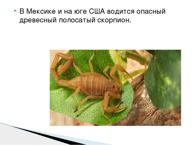 В Мексике и на юге США водится опасный древесный полосатый скорпион.