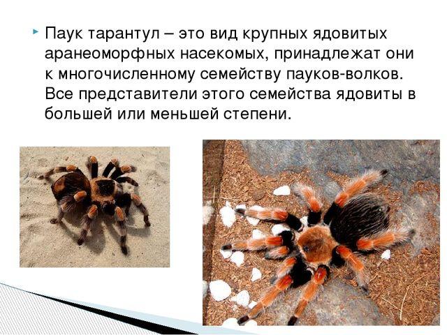 Паук тарантул – это вид крупных ядовитых аранеоморфных насекомых, принадлежат...