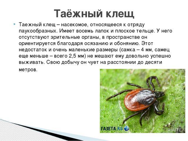 Таежный клещ – насекомое, относящееся к отряду паукообразных. Имеет восемь ла...