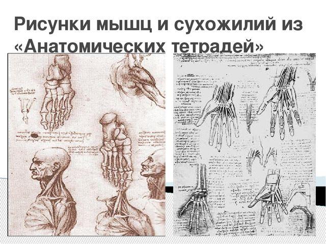 Рисунки мышц и сухожилий из «Анатомических тетрадей»