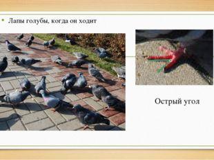 Острый угол Лапы голубы, когда он ходит