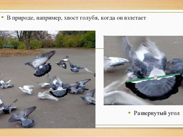 Развернутый угол В природе, например, хвост голубя, когда он взлетает