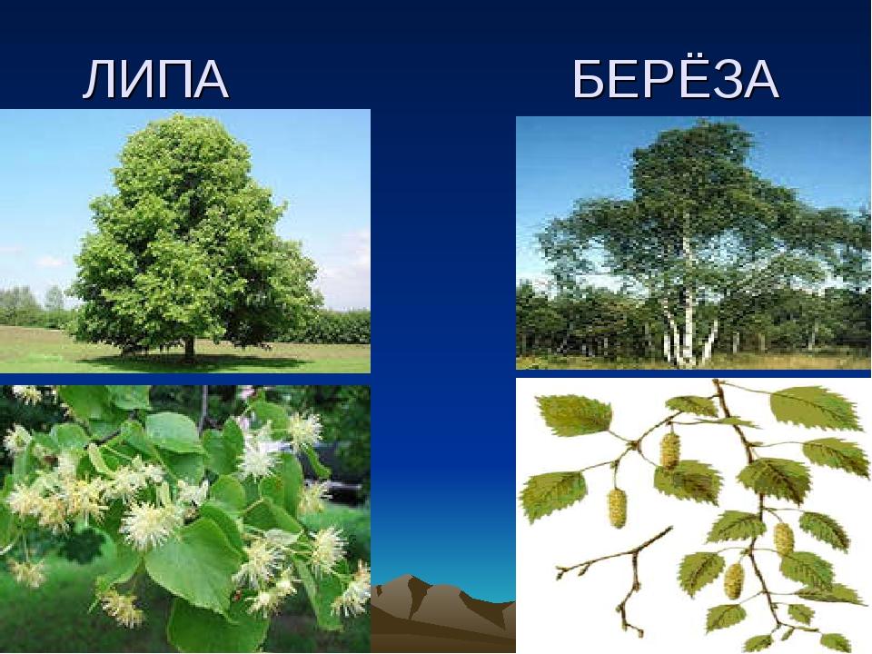 ЛИПА БЕРЁЗА