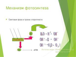 Механизм фотосинтеза Световая фаза в гранах хлоропласта хлорофилл е е АТФ 2 +