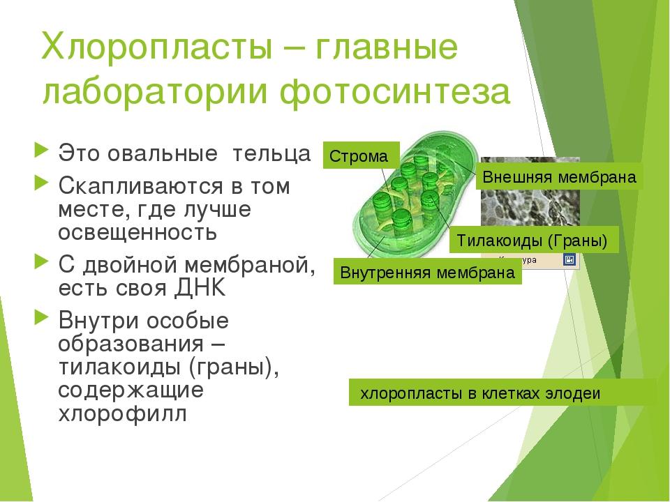 Хлоропласты – главные лаборатории фотосинтеза Это овальные тельца Скапливаютс...