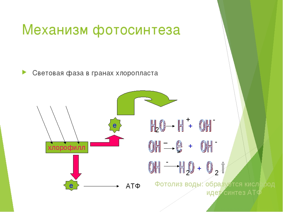 фотосинтез механизм процесса утверждает
