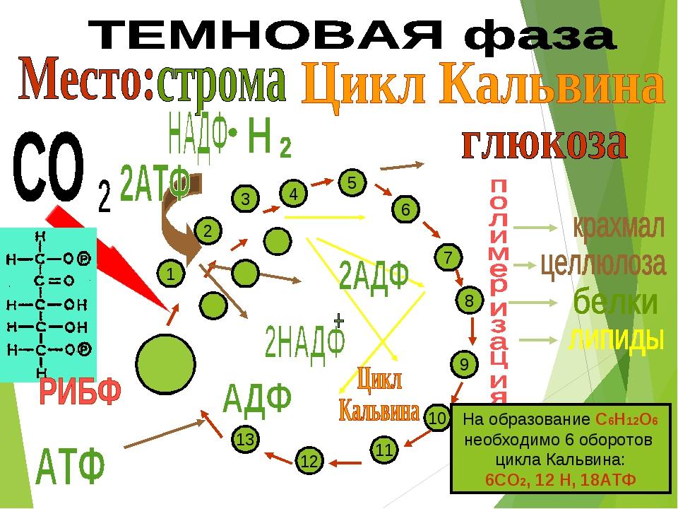 6 5 4 7 8 9 10 11 12 13 3 1 2 На образование С6Н12О6 необходимо 6 оборотов ци...