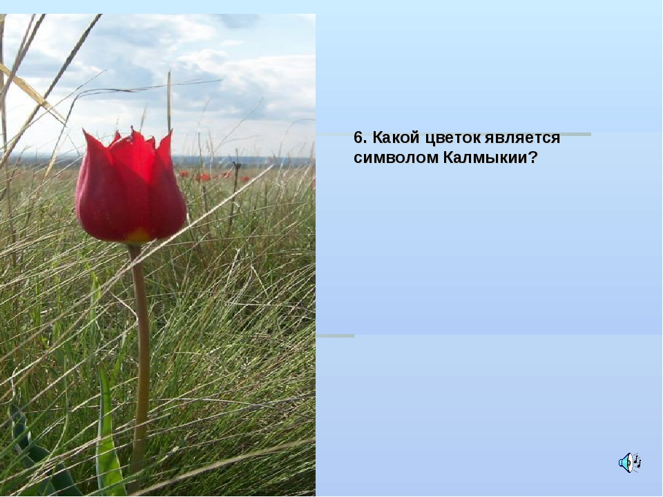 6. Какой цветок является символом Калмыкии?