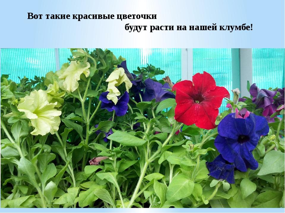 Вот такие красивые цветочки будут расти на нашей клумбе!