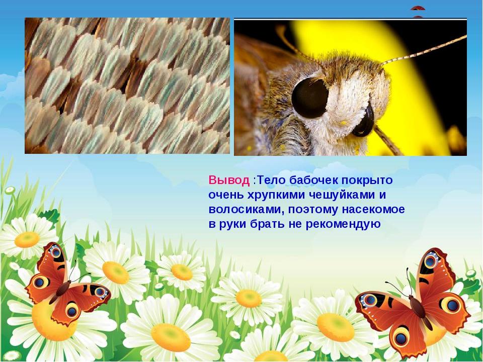 Вывод :Тело бабочек покрыто очень хрупкими чешуйками и волосиками, поэтому на...