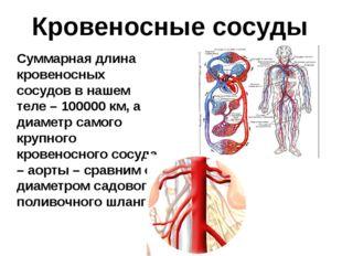 Кровеносные сосуды Суммарная длина кровеносных сосудов в нашем теле – 100000
