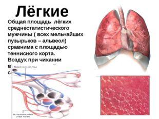 Лёгкие Общая площадь лёгких среднестатистического мужчины ( всех мельчайших п