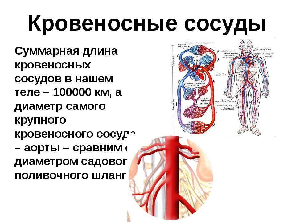 Кровеносные сосуды Суммарная длина кровеносных сосудов в нашем теле – 100000...