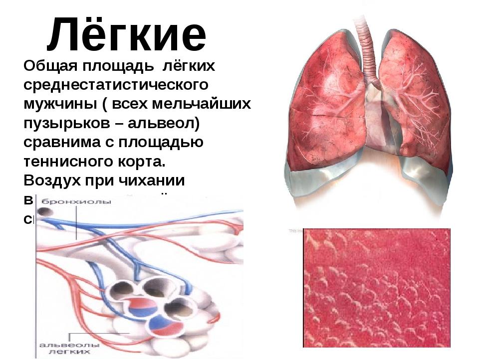 Лёгкие Общая площадь лёгких среднестатистического мужчины ( всех мельчайших п...